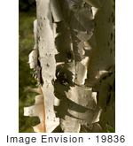 #19836 Photo Of The Bark Of A Birch Tree Peeling Off To Show New Bark