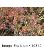 #19842 Photo Of Blueberries Growing On A Shrub With Autumn Foliage