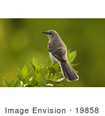 #19858 Photo Of A Northern Mockingbird (Mimus Polyglottos) Perched On A Mangrove Tree