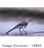 #19860 Photo Of A Northern Mockingbird Perched On A Wire