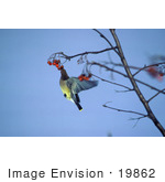 #19862 Photo Of A Cedar Waxwing (Bombycilla Cedrorum) Eating Berries On A Tree