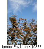 #19868 Stock Photography: Bundles Of Mistletoe On Oak Tree Branches In Autumn