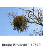 #19870 Stock Photography: Mistletoe On An Oak Tree Branch