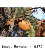 #19872 Stock Photography: Wasp Oak Gall Attached to an Oak Tree by Jamie Voetsch