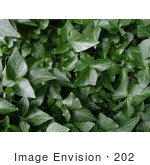#202 Image Of A Background Of Green Ivy