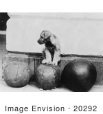 #20292 Historical Stock Photo: Piney, President Hoover's Schnauzer Puppy, Sitting on Medicine Ball by JVPD