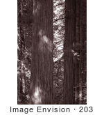 #203 Photograph Of Redwood Trees In A Forest