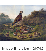 #20762 Stock Photography Of Quail Bird Family Of Adults And Chicks