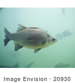 #20930 Stock Photography Of A White Bass Fish (Morone Chrysops)