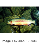 #20934 Stock Photography Of A California Golden Trout Fish (Oncorhynchus Mykiss Aguabonita)