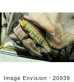 #20939 Stock Photography Of A Greenback Trout In A Net