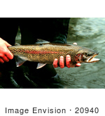 #20940 Stock Photography Of A Man'S Hands Holding A Redband/Rainbow Trout (Onchorhynchus Mykiss)
