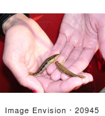 #20945 Stock Photography Of A Woman Holding Two Goldline Darter Fish