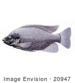 #20947 Clipart Image Illustration Of A Tilapia Cichlid Fish