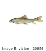 #20956 Clipart Image Illustration of a Spotted Sucker Fish (Minytrema melanops) by JVPD