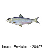 #20957 Clipart Image Illustration of a Blueback Herring Fish (Alosa aestivalis) by JVPD