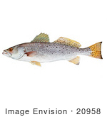#20958 Clipart Image Illustration of a Spotted Seatrout Fish (Cynoscion nebulosus) by JVPD
