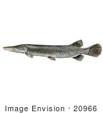 #20966 Clipart Image Illustration of an Alligator Gar Fish (Atractosteus spathula) by JVPD