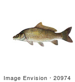 #20974 Clipart Image Illustration of a Common Carp or European Carp Fish (Cyprinus carpio) by JVPD