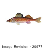 #20977 Clipart Image Illustration Of A Walleye Fish (Stizostedion Canadense)