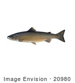 #20980 Clipart Image Illustration Of An Atlantic Salmon (Salmo Salar)