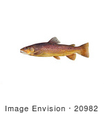 #20982 Clipart Image Illustration Of A Brown Trout Fish (Salmo Trutta)