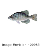 #20985 Clipart Image Illustration Of A White Crappie Fish (Pomoxis Annularis)