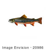 #20986 Clipart Image Illustration of Brook Trout Fish (Salvelinus fontinalis) by JVPD