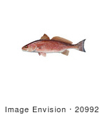 #20992 Clipart Image Illustration of a Red Drum Fish (Sciaenops ocellata) by JVPD