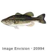 #20994 Clipart Image Illustration Of A Largemouth Bass Fish (Micropterus Salmoides)