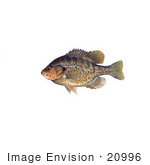 #20996 Clipart Image Illustration of a Redear Sunfish (Lepomis microlophus) by JVPD