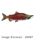 #20997 Clipart Image Illustration Of A Sockeye Salmon Fish (Oncorhynchus Nerka)