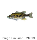 #20999 Clipart Image Illustration Of A Suwannee Bass Fish (Micropterus Notius)