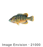 #21000 Clipart Image Illustration Of A Green Sunfish (Lepomis Cyanellus)