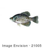 #21005 Clipart Image Illustration Of A Black Crappie Fish (Pomoxis Nigromaculatus)