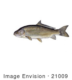 #21009 Clipart Image Illustration Of A Black Buffalo Fish (Ictiobus Niger)