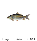 #21011 Clipart Image Illustration Of A Bigmouth Buffalo Fish (Ictiobus Cyprinellus)
