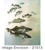 #21013 Clipart Image Illustration Of Walleye Yellow Perch And Pike Fish Swimming Together