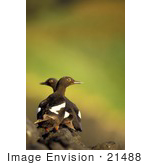 #21488 Stock Photography Of Two Pigeon Guillemot Birds (Cepphus Columba) Facing Different Directions