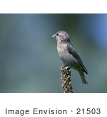 #21503 Stock Photography Of A Red Crossbill (Loxia Curvirostra) Bird Perched