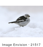 #21517 Stock Photography Of A Snow Bunting Bird (Plectrophenax Nivalis) In The Snow