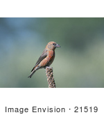 #21519 Stock Photography Of A Red Crossbill Bird (Loxia Curvirostra) Deschutes National Forest Oregon