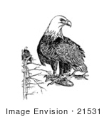 #21531 Stock Photography Of An American Bald Eagles (Haliaeetus Leucocephalus)