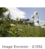 #21552 Stock Photography Of White Daisy Flowers Growing Near An Abandoned Home Simeonof Island Alaska