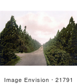 #21791 Historical Stock Photography Of Wellingtonia Avenue In Camberley Surrey England United Kingdom