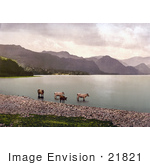 #21821 Historical Stock Photography Of Cattle Wading In The Water Derwent Water Lake District England