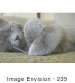 #235 Image Of A Gray Cat Sleeping With His Paws Crossed
