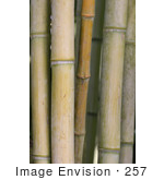 #257 Picture of Bamboo Stalks by Kenny Adams