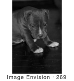 #269 Picture Of A Pit Bull Puppy Dog