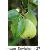 #27 Picture Of A Pear In A Tree